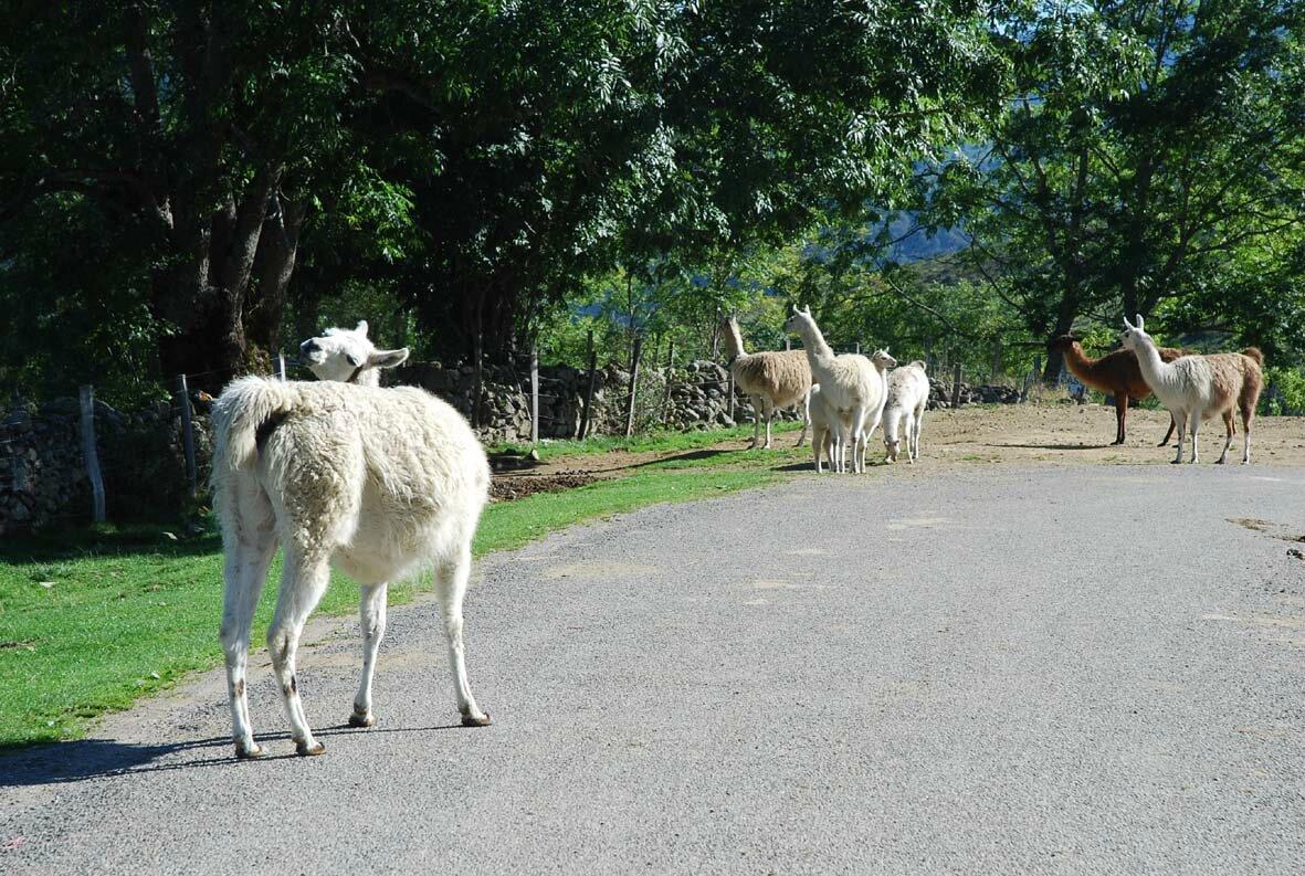 Lamas pyrénéens