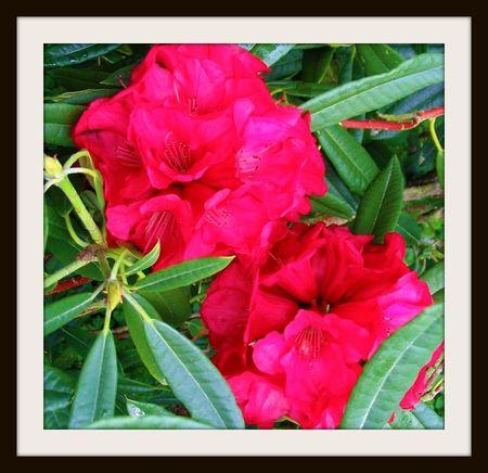 rhododendron_kaponga