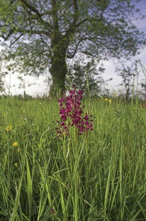 Orchis_laxiflora_St_Lou