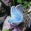 Papillons de l'été: argus bleu nacré