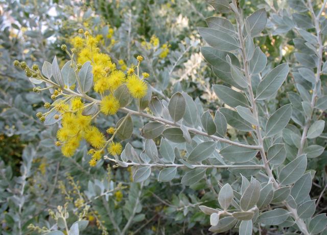 Capture acacia poda