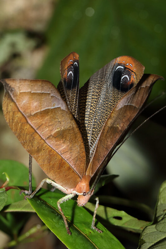 Pterochroza ocellata - femelle