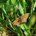 Papillon : Grand collier argenté (Clossiana euphrosyne)