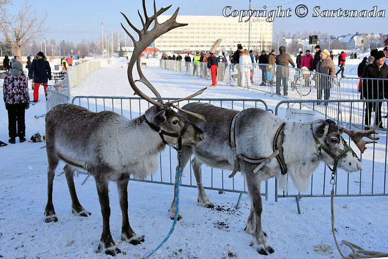reindeer_rides_for_families_oulu_-31