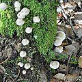 Mycena galericulata (1)