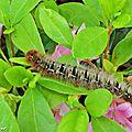 chenilles du Bombyx du chêne • Lasiocampa quercus