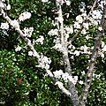 1-Arbres fleuris et fleurs de Léon 080317