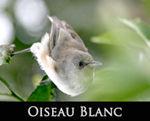 LIEN_oiseau_blanc