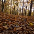 2009 10 31 Dans un bois de Fayards (hêtre) avec un par terre de feuilles d'automne (3)