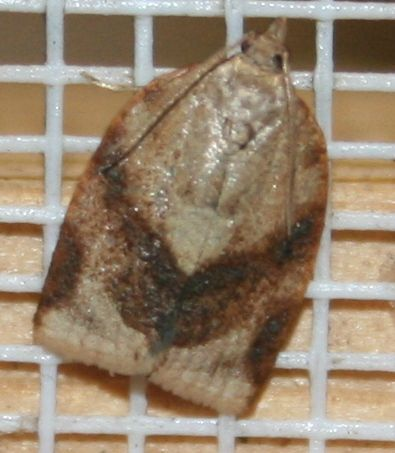 Tortricidae sp. 02