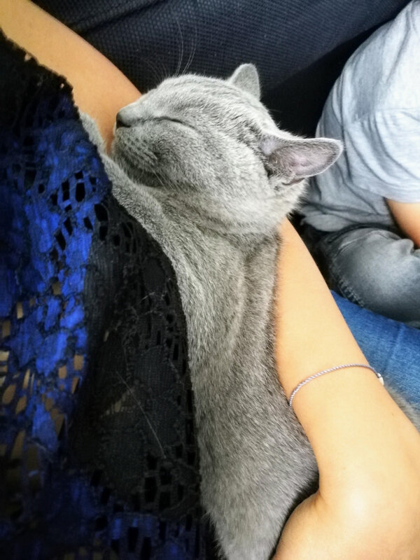 Opale chat chartreux