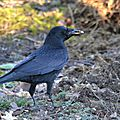 Corbeau freux (Corvus frugilegus) - Rook