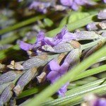 lavande_de_mon_jardin