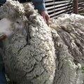 Le mouton avec le plus de laine au monde ...