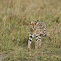 Kenya serval2 août 2008