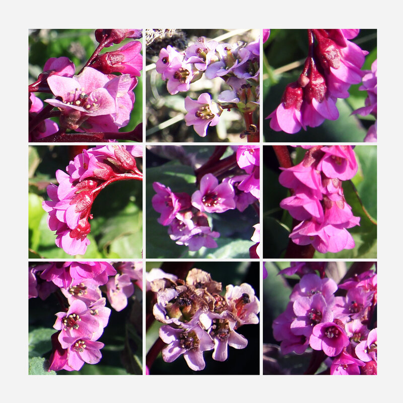 Faby-couleurs_Bergenia cordifolia-D
