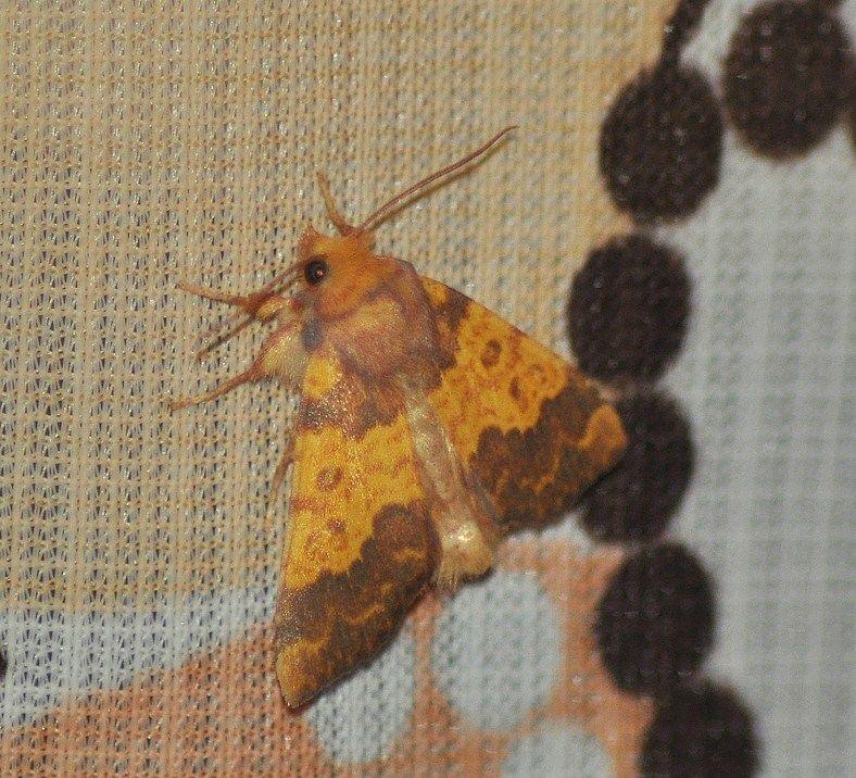 Tiliacea aurago (La Xanthie dorée )