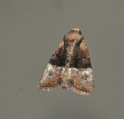 Mesoligia furuncula (Furoncule, Noctuelle furoncule)