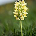 Orchis sureau - Dactylorhiza sambucina (1)