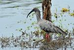 ibis_plomb__1_